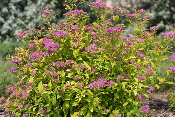 Spirea Little Spark