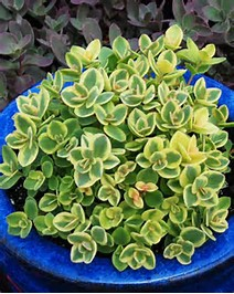 Sedum Lime Twister