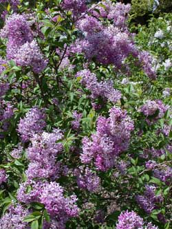 lilac, chinese flower